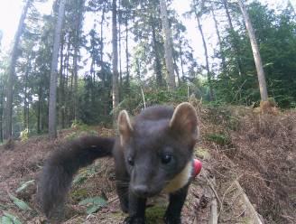 """Jonge natuurliefhebber lokt zeldzame boommarter naar cameraval: """"Voor het eerst sinds 100 jaar gespot in onze regio"""""""