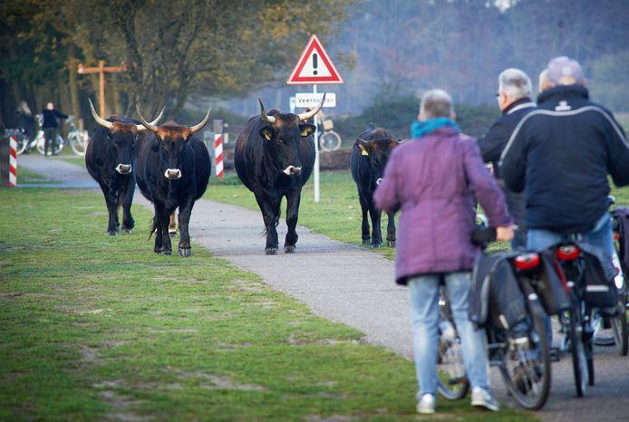 Taurossen en recreanten midden in de Maashorst.