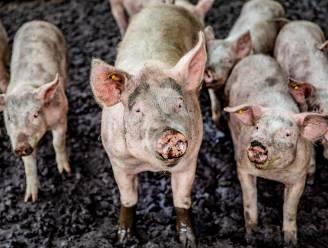 Maak kennis met de varkensstiel tijdens het toneelstuk Zwins!