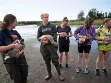 Vijftien jonge flamingo's van Zwillbrock krijgen een ringetje, vrijwilligers helpen: 'Zo'n bijzonder gevoel'