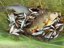 Duizenden vissen krijgen nieuw onderkomen in Beilen