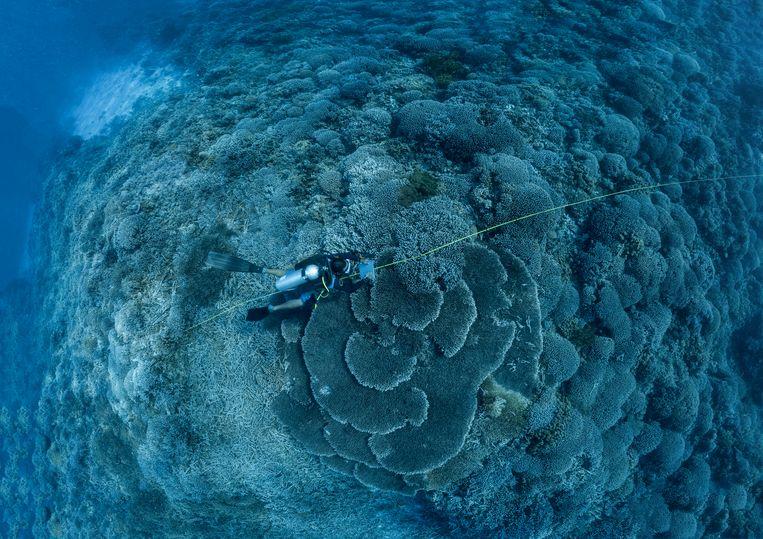 Een mariene bioloog onderzoekt tekenen van verbleking  van het koraal op Tubbataha-rif in de Filipijnen. Beeld Getty Images