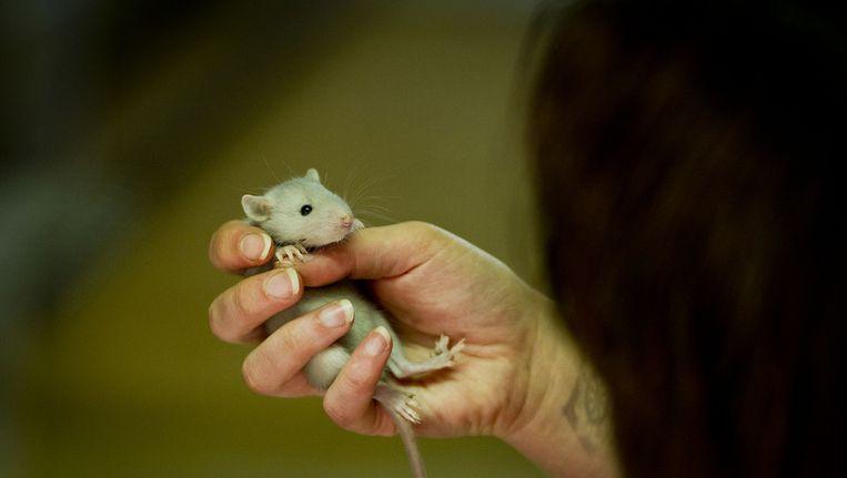 Een rat (géén politierat) Beeld null