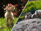 Babynieuws uit Dierenrijk: voor het eerst in 8 jaar steppevossen geboren