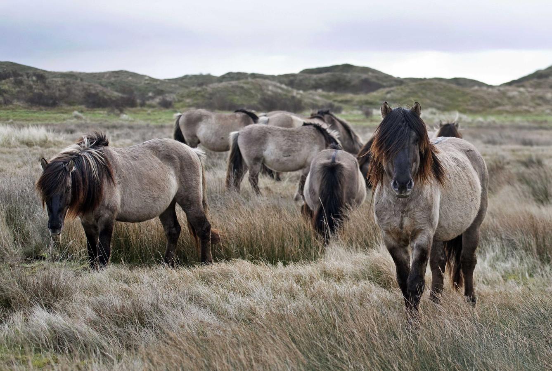 Een groep konikpaarden uit de Oostvaardersplassen die niet naar de slacht gingen maar werden overgeplaatst naar natuurgebied De Slufter.