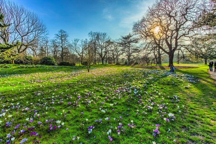 Krokusjes  in het gras, de lente komt eraan.