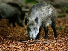 Jacht op wilde zwijnen tijdelijk toegestaan om Afrikaanse varkenspest uit Nederland te houden