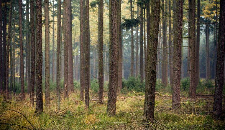 De bossen bij Hoog Soeren, kroondomein Het Loo. Beeld ANP