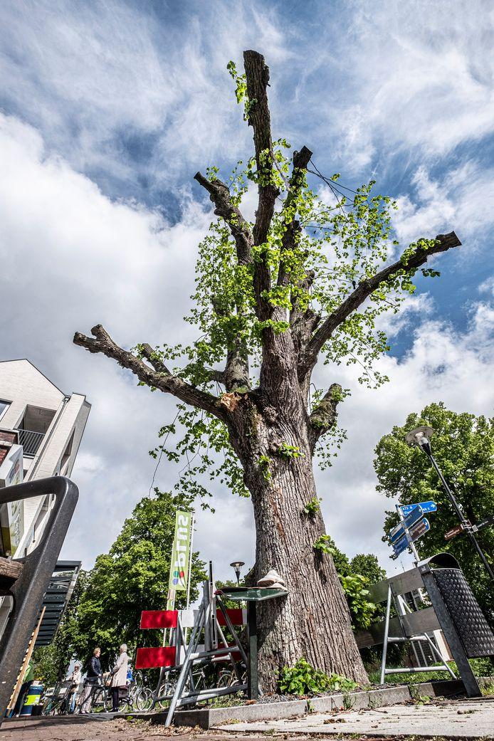 De monumentale boom aan het 14 Oktoberplein  in Overloon is fors gesnoeid nadat er afgelopen weekend een zware tak van afbrak.