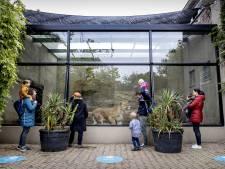 Un zoo néerlandais contraint de se séparer de ses lions à cause de la crise