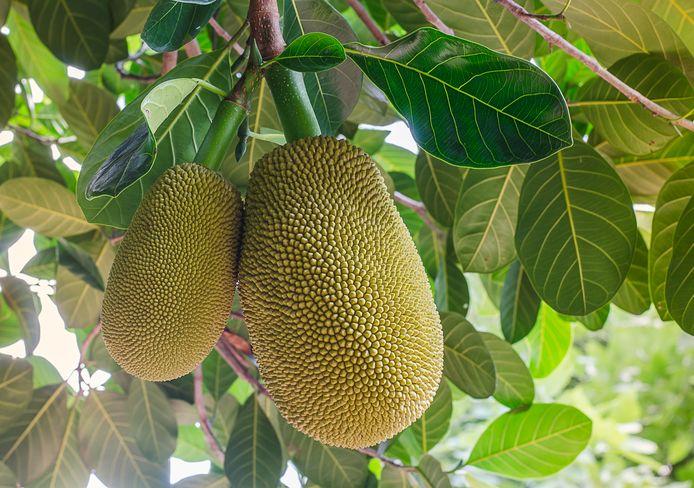 Jackfruit wordt vaak gebruikt in vegetarische recepten.