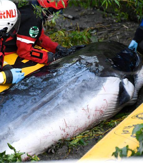 La petite baleine échouée dans la Tamise a été euthanasiée