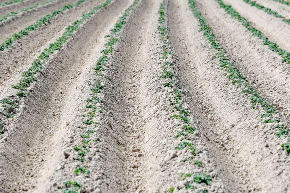 Overal liggen de akkers erbij als woestijnen, zoals hier in Diksmuide in West-Vlaanderen.