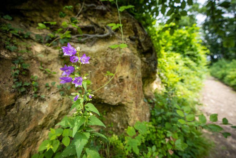 Een ruig klokje (Campanula trachelium) groeit in het Savelsbos. Beeld Laurens Eggen