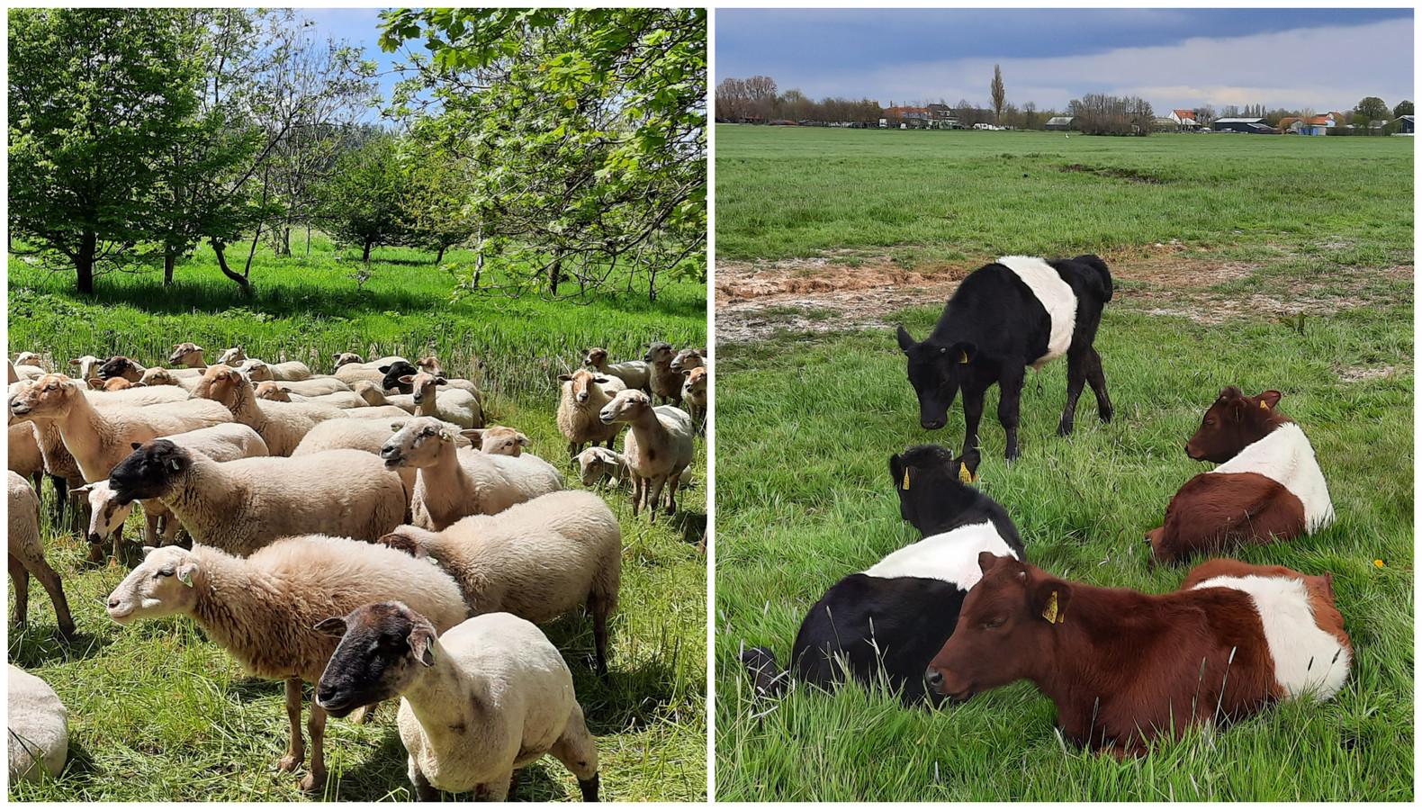 Schapen van belevenisboerderij Schieveen vreten in de Broekpolder de berenklauw op en lakenvelders van de Holy Hoeve nemen op de grens van Schiedam en Vlaardingen er hun gemak van.