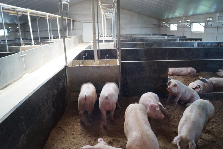 Door het venster kunnen bezoekers dag en nacht naar de varkens komen kijken