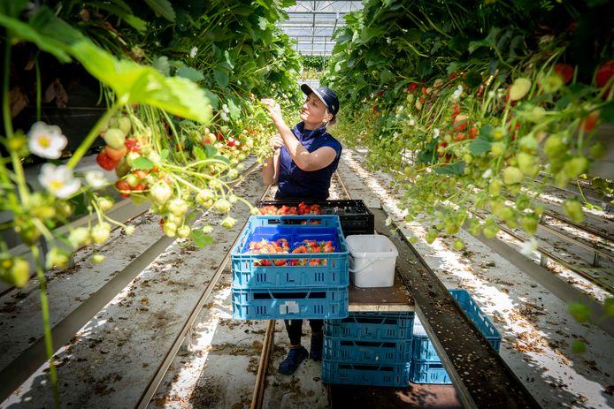 Een arbeidsmigrant plukt aardbeien. Foto ter illustratie