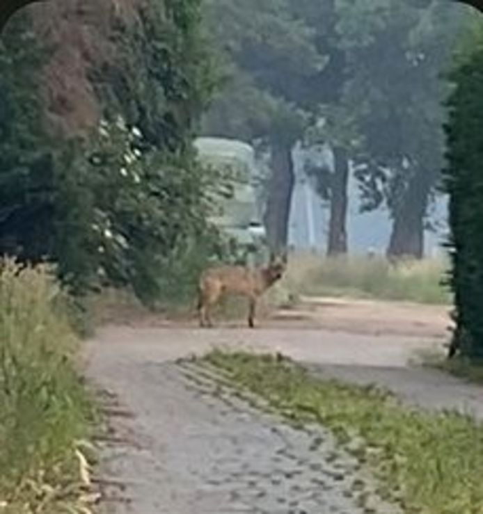 Wolf Billy werd op 3 juni reeds in Oud-Turnhout gespot.