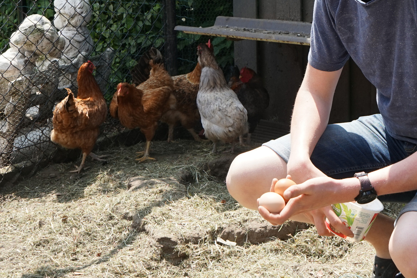 Eieren eten van eigen kippen zou schadelijk kunnen zijn binnen een straal van tien kilometer van de PFOS-vervuiling in Zwijndrecht.