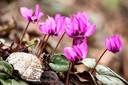 De Cyclamen coum bloeit van november tot ver in maart.