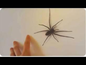 Deze spin laat niet met zich sollen