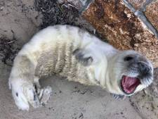 Babyzeehondje spoelt aan op het Ouddorpse strand