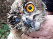 Half blinde, jonge oehoe die gevonden was in Winterswijk overleden