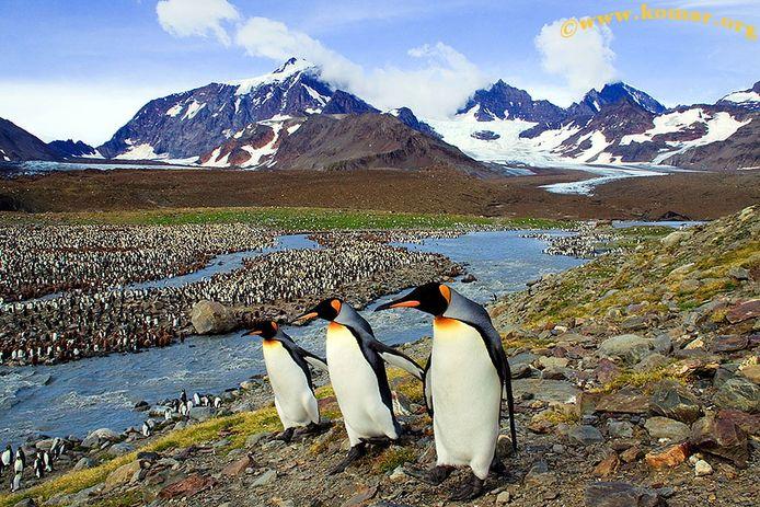 Pinguins op het Zuidpool-eiland South Georgia. Archiefbeeld ter illustratie.