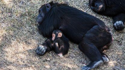 Slapende chimpansees ook belangrijk voor ónze nachtrust