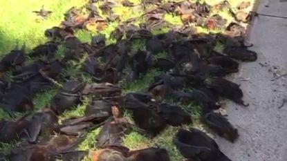 Honderden 'vliegende honden' vallen dood uit boom