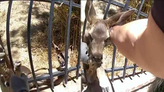 Politieagent redt hertje uit hek