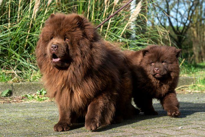Alle dieren van de hondenfokkerij aan de Randwijkse Rijndijk zijn gezond en worden goed verzorgd. Toch krijgen de eigenaren een dwangsom opgelegd omdat het bedrijf administratief niet aan de regels voldoet.