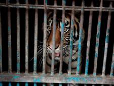 Deux tigres de Sumatra infectés au Covid-19 dans un zoo indonésien