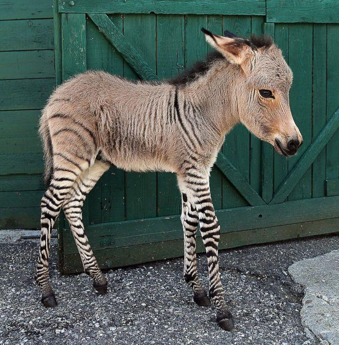 Een zezel is een zeldzame kruising tussen een zebra en een ezel (archiefbeeld).