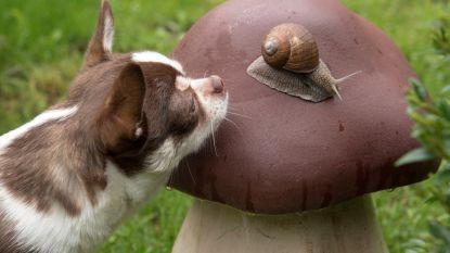 Hondenbaasjes opgelet: slakken kunnen je huisdier besmetten met levensbedreigende parasiet