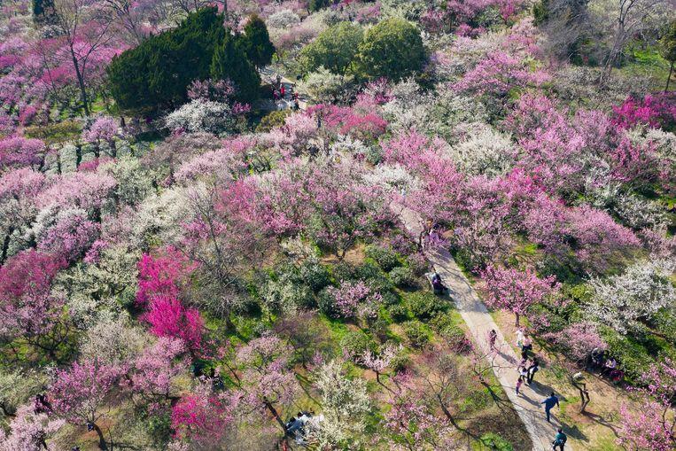 In het Chinese Nanjing is het volop voorjaar. Bezoekers van het jaarlijkse festival dat gewijd is aan de pruimenbloesem lopen er door een bos van zo'n 35.000 bloeiende bomen, waaronder een exemplaar van vierhonderd jaar oud. Beeld AFP