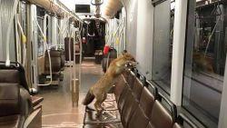 De vos is helemaal terug, zelfs in de stad: moeten we ons zorgen maken?