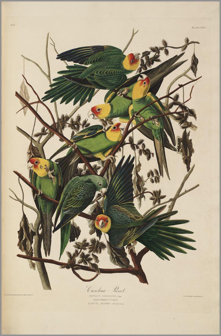 De carolinaparkieten van Audubon. Beeld Teylers Museum