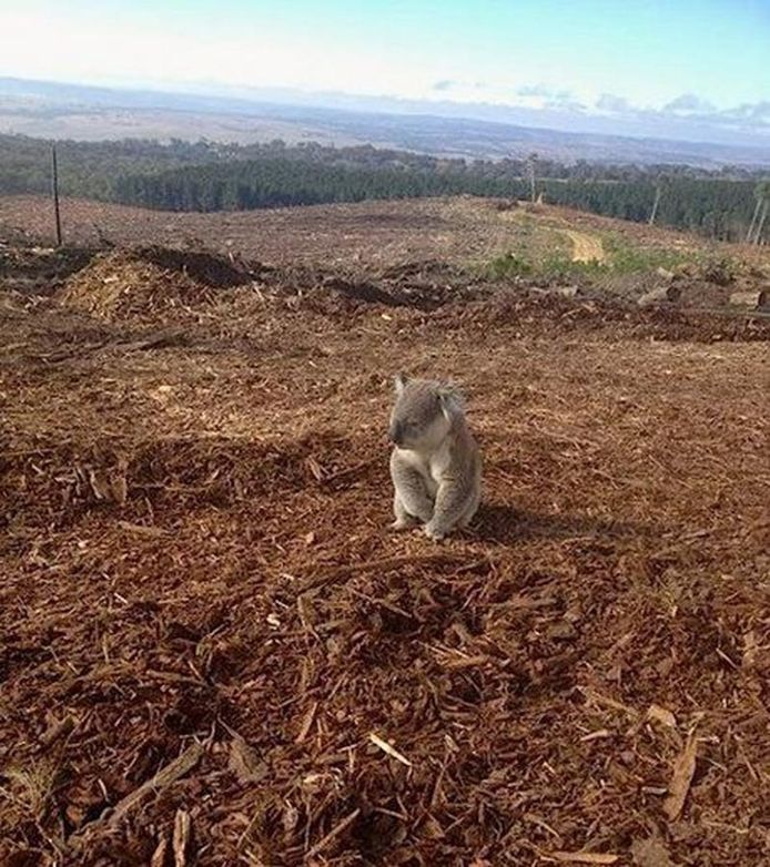 Ce koala regrette ses eucalyptus déforestés.