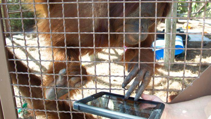 Een orang-oetan speelt met iPad in de dierentuin van Miami.