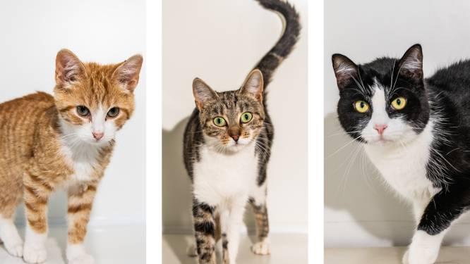 """Het is Internationale Kattendag: deze 8 hartenbrekers uit het asiel zijn nog op zoek naar een baasje. """"Figaro is heel imposant, maar hij heeft een klein hartje"""""""