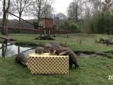 Dieren in ZooParc Overloon worden verwend met kerstmis