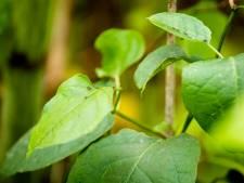 College Assen wil plan om schadelijke plantensoorten te bestrijden