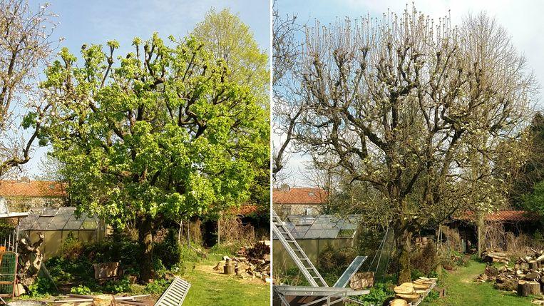 Twee foto's van dezelfde boom. Links is in april 2020 genomen, rechts april 2021.  Beeld Nature Today
