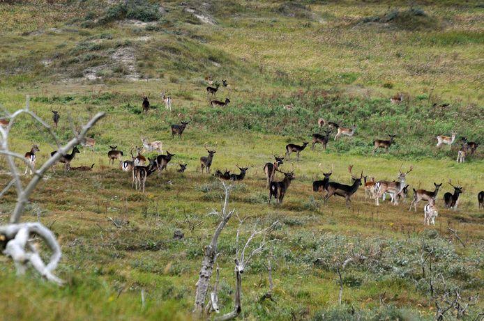 Bronstige damherten verzamelen zich in de natuur op de Kop van Schouwen. Vaak zijn het er honderden tegelijk.