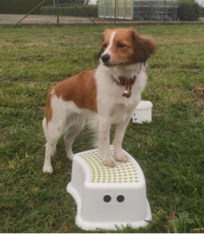 Vidda, het hondje dat na het ongeluk was weggerend.