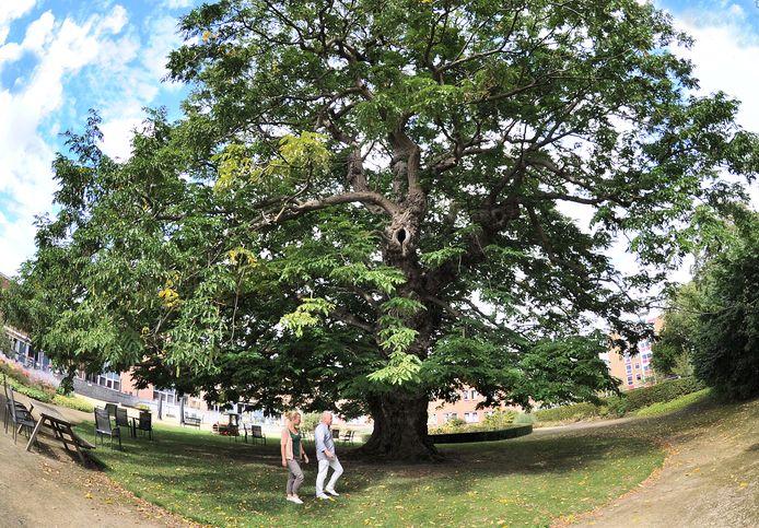 De vleugelnoot in de Gasthuistuin in Middelburg is al eens verkozen tot mooiste boom van Middelburg. Nu is hij ook voorgedragen voor de landelijke verkiezing van de Boom van het Jaar 2020.