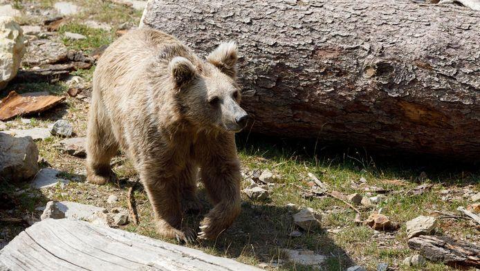 L'ours brun de l'Himalaya.