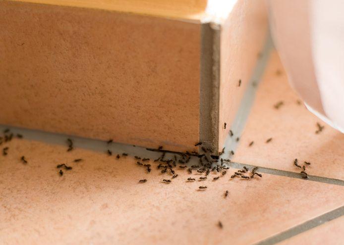 Veel mensen vinden het vervelend om mieren in huis te hebben. Ze zijn lastig buiten de deur te houden, maar het kan wel!