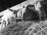 'Lease-schapen'